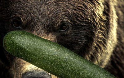 Hitting a bear with a zucchini