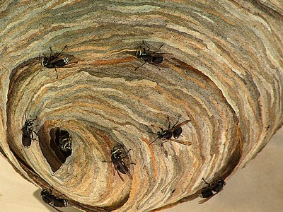 Close-up of baldfaced hornet nest.