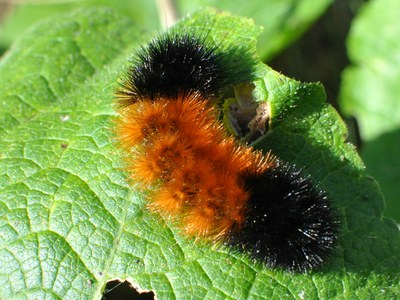 Woollybear caterpillar