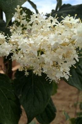 Japanese tree lilac - panicle