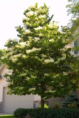 Japanese tree lilac - tree