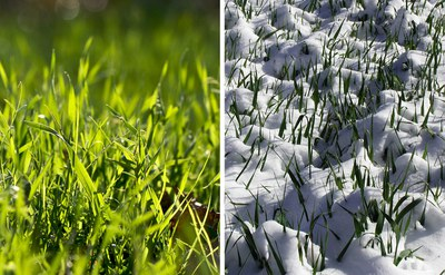 Winter rye in spring and winter