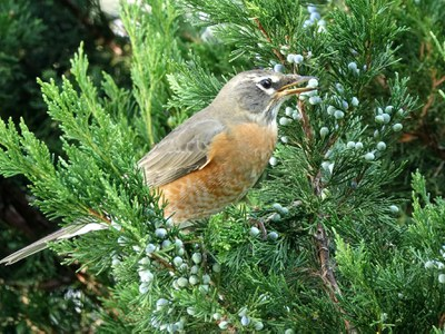 Robin in juniper