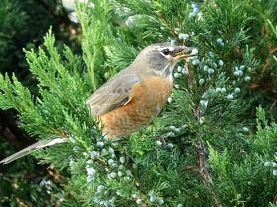 Robin in juniper