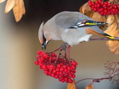 Bohemian waxwing on mountainash