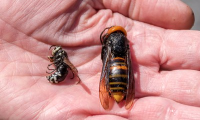 Bald-faced hornet and Asian giant hornet