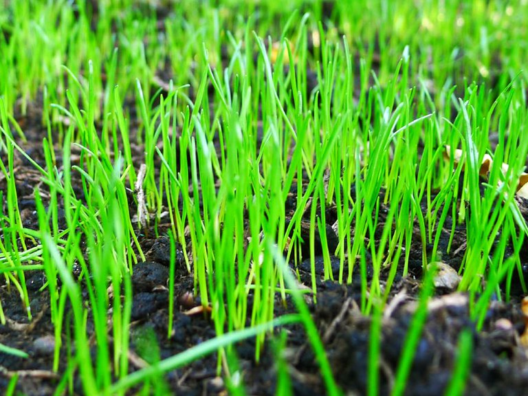 Lawn seedlings