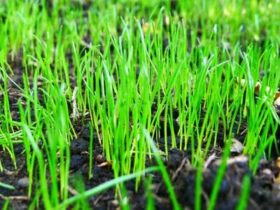 Lawn seedlings