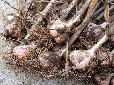 'Music' garlic