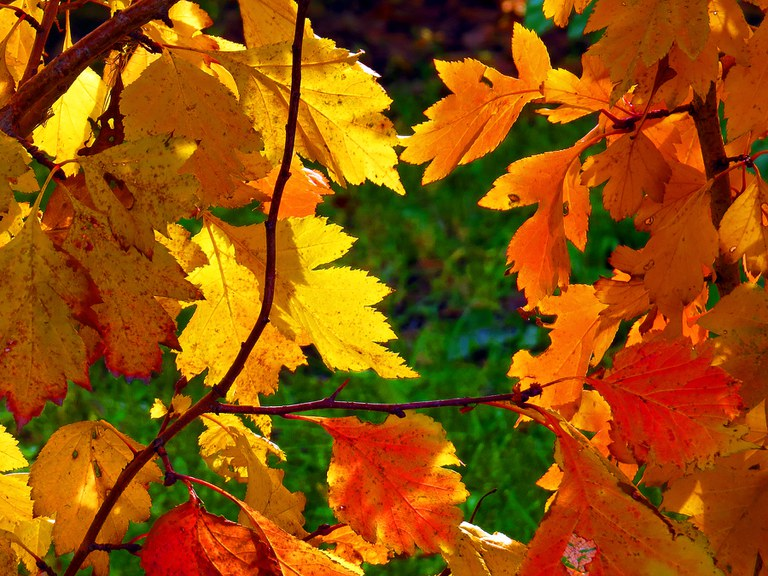 Fall colors of downy hawthorn