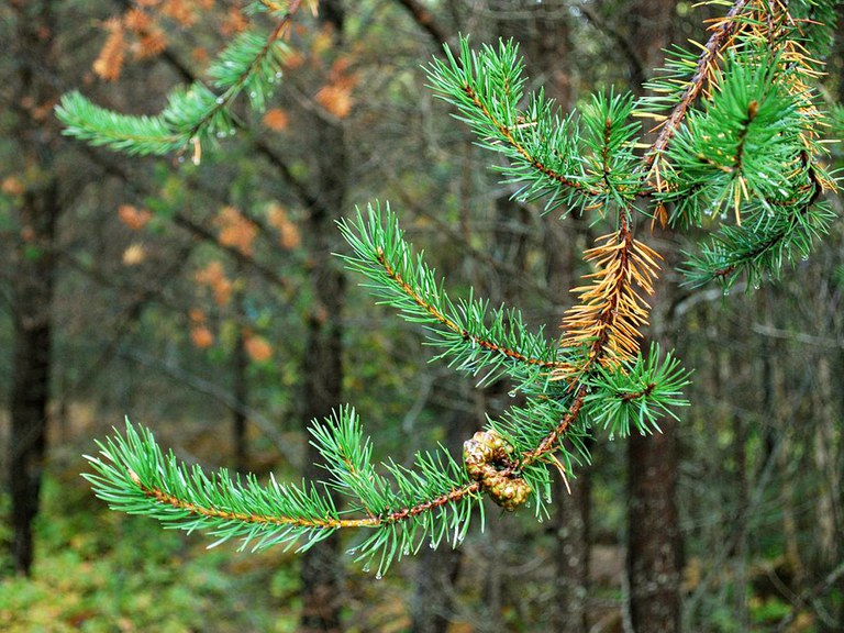 Fall Needle Drop -- An evergreen needle is not green forever.  Older needles (located near the trunk) are supposed to drop. If buds and young needles (located near branch tips) are healthy, the tree is full of life.