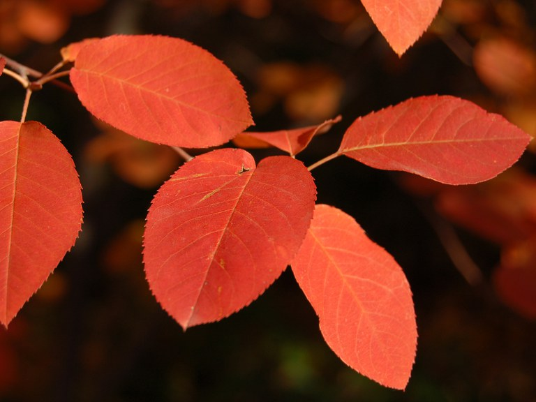 Fall color of serviceberry