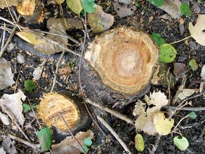 Brush stump
