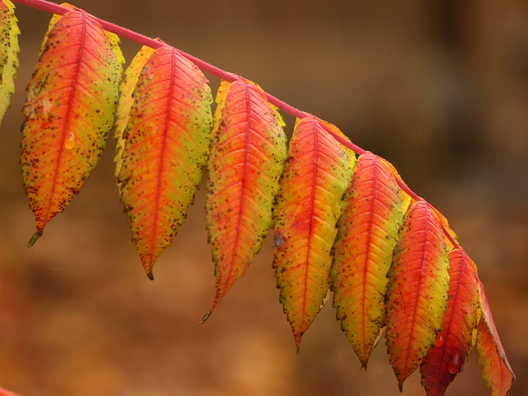 Fall colors of smooth sumac