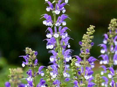 'Azure Snow' Salvia
