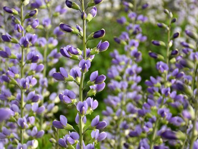 'Blue Bubbly' Baptisia
