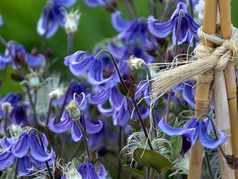 'Stand by Me' Bush Clematis