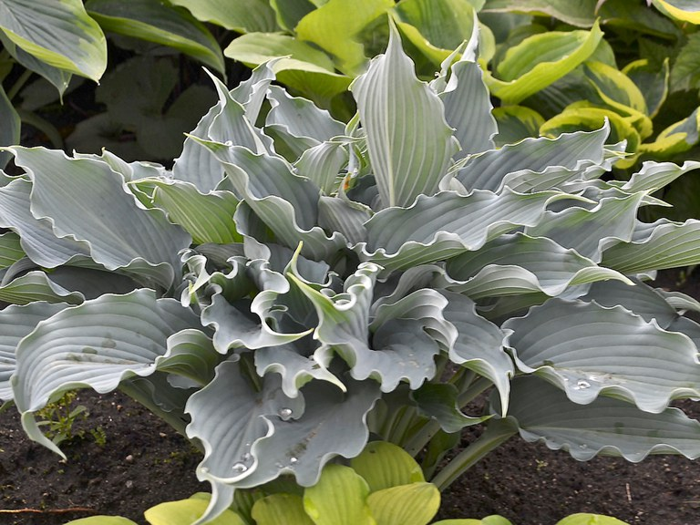 'Waterslide' Hosta