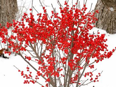 Female winterberry in winter