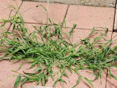 Crabgrass growing on sidewalk