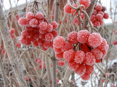 American cranberrybush viburnum