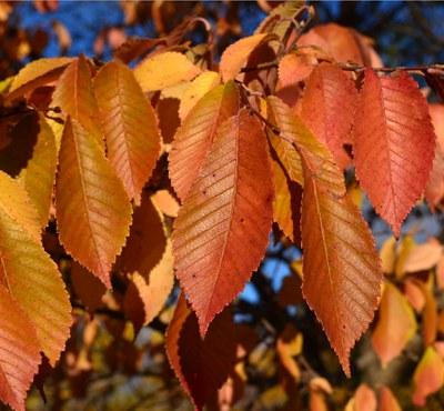 Northern Empress™ orange foliage.