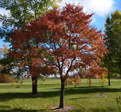 Northern Empress™ fall foliage.