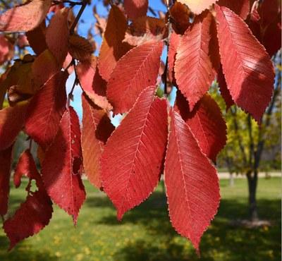 Northern Empress™ burgundy foliage.
