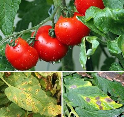 Tomatoes and foliar diseases