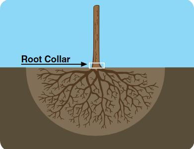 Tree planting height