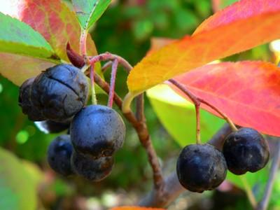 Aronia in autumn