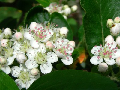 Aronia in bloom