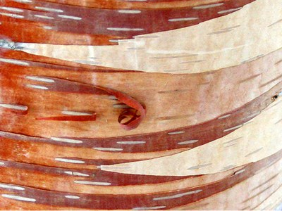 Close-up of birch bark