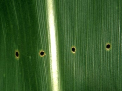 Shotholes created by European corn borer