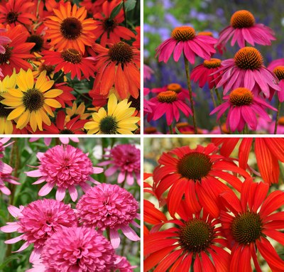 New, Colorful Coneflowers!
