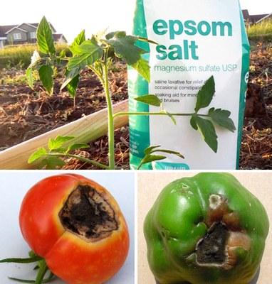 Figs. 1-3. Epsom salt does not prevent blossom end rot.