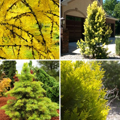 Golden conifers