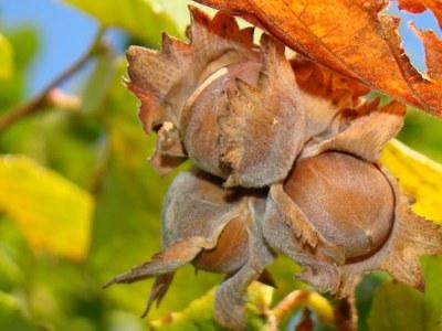 Hybrid hazelnuts