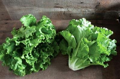 'Fusion' lettuce