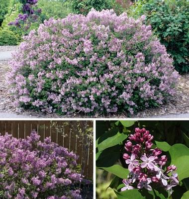 Special lilacs