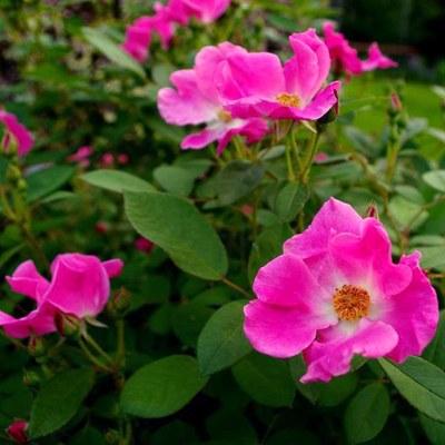 'Nearly Wild' rose