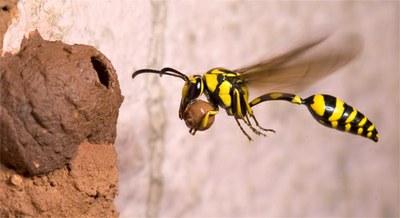 Potter wasp building nest