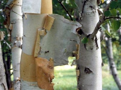 Prairie Dream® paper birch