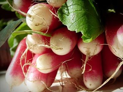 'French Breakfast' radishes