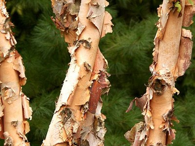Heritage® river birch