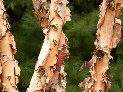 Heritage® river birch