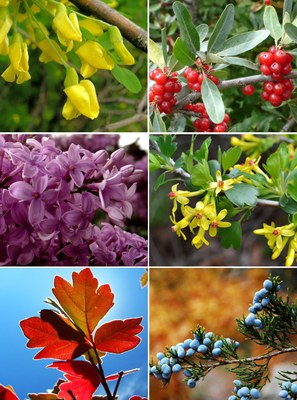 Salt-tolerant shrubs