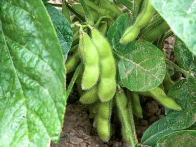 'Tohya' vegetable soybean