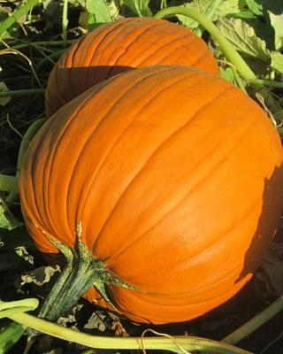 'Dakota Howden' pumpkin