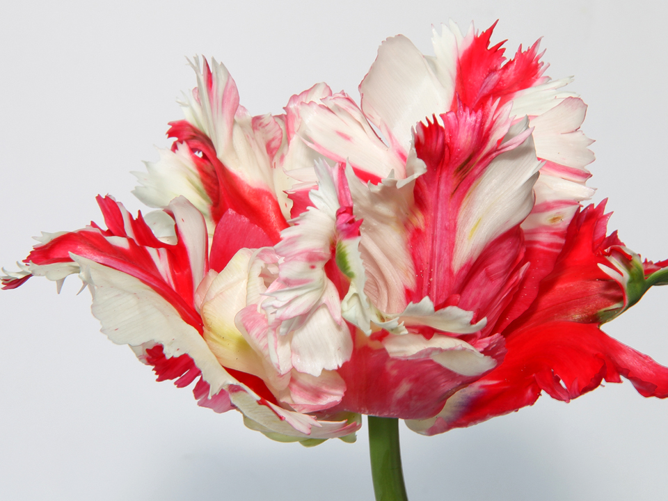 'Destiny' ('Estella Rijnveld') tulip